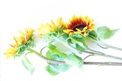 Beautiful summer sunflowers on white background Royalty Free Stock Photography