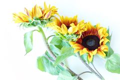 Beautiful summer sunflowers on white background Stock Photo