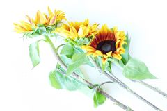 Beautiful summer sunflowers on white background Stock Images