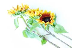 Beautiful summer sunflowers on white background Royalty Free Stock Images