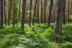 Beautiful summer sunny landscape in pine forest with green ferns on the ground royalty free stock images