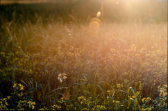 Beautiful summer sunset meadow wild grass background Stock Image
