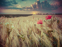 beautiful summer sunset on a wheat field with poppies and daisies royalty free stock photos