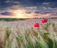 Beautiful summer sunset on a wheat field with poppies Royalty Free Stock Image