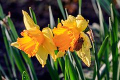 Beautiful summer Trumpet daffodils with a Colorado beetle royalty free stock photo