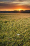 Beautiful Summer vibrant sunset landscape over agricultural crop Stock Photography