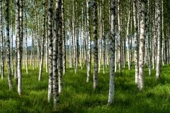 Beautiful summer view of a grove of birch trees with green grass. Forest floor and sunshine shining from the left stock image
