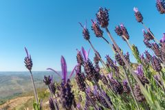 Beautiful and summer violet lavander field. Aromatherapy lavander.  royalty free stock photo