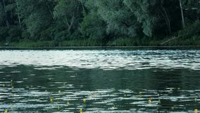 Beautiful summer waterscape with yellow lillies and trees along river banks stock video footage