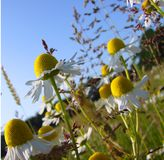 Beautiful summer weeds. Summer weeds that resemble large daisies Royalty Free Stock Image