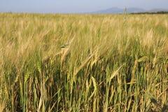 Beautiful summer wheat field Royalty Free Stock Image