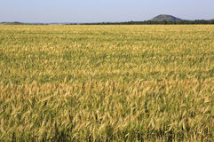 Beautiful summer wheat field Royalty Free Stock Image