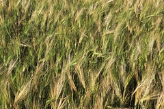 Beautiful summer wheat field. Ears close up Stock Photo