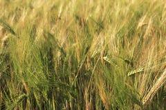 Beautiful summer wheat field. Ears close up Stock Photography