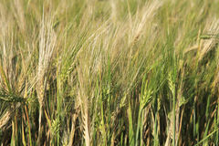 Beautiful summer wheat field. Ears close up Royalty Free Stock Image