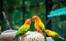 Beautiful Sun Conure parrots stand on hat. stock photography
