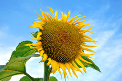 Beautiful sun flower Royalty Free Stock Image
