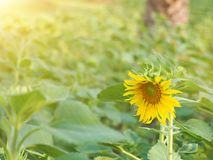 Beautiful of sun flower with blur green background. Beautiful of yellow sun flower with blur leaf green background Royalty Free Stock Image