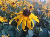 Beautiful Sun flowers in the summer season at home, gardens and parks stock images