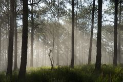 Sun ray in a pine forest. Beautiful sun light in a pine forest at Dalat, Vietnam. The city is famous for its landscapes and chilled weather Stock Image