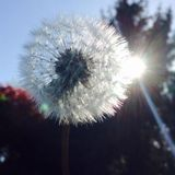 Beautiful sun Ray. A dandelion through the sun Royalty Free Stock Images