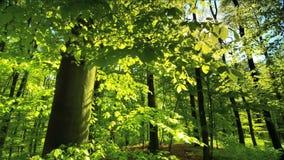 Beautiful sun rays fall through fresh green foliage in a beech forest
