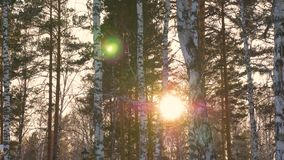 Beautiful sun rays through trees in winter forest. Winter sun in forest. Sunbeam sun flare shine behind trees. Beautiful sun rays through trees in winter forest stock video footage