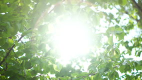 Beautiful Sun shine through tree green leaves. Nature background. Beautiful Sun shine through the blowing on wind tree green leaves. Blurred abstract bokeh with stock footage