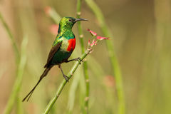 Beautiful sunbird Stock Image