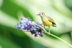 Beautiful Sunbird. A Beautiful Sunbird and flower Stock Photos