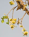 A Beautiful Sunbird looking for nectar Stock Photography