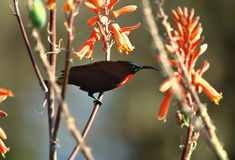 Beautiful sunbird and orange flowers, South Africa Royalty Free Stock Image