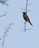 A Beautiful Sunbird on a spiny twig Stock Image