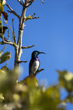 Beautiful sunbird in the wild of Mozambique Royalty Free Stock Photo