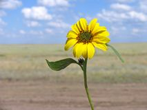Beautiful sunflower. Under a cloudy sky Stock Images