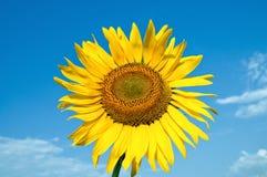Beautiful sunflower Royalty Free Stock Image
