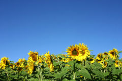 Beautiful Sunflower. And a blue sky Royalty Free Stock Images