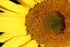 Beautiful Sunflower. Beautiful yellow Sunflower in the sun Stock Image