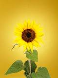 Beautiful sunflower Stock Photos