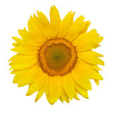Beautiful sunflower. Isolated on white Royalty Free Stock Photography