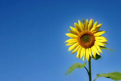 Beautiful Sunflower. And an blue sky Royalty Free Stock Image