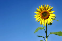 Beautiful Sunflower. And an blue sky Royalty Free Stock Photography