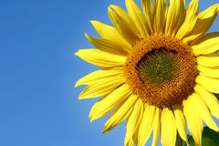 Beautiful Sunflower. And an blue sky Stock Image