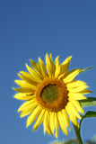 Beautiful Sunflower. And an blue sky Stock Images