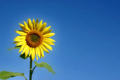Beautiful Sunflower. And an blue sky Royalty Free Stock Photos
