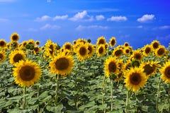 Free Beautiful Sunflower Stock Photo - 20829430
