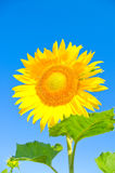 Beautiful sunflower. Against blue sky royalty free stock photography