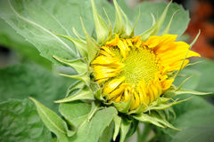 Beautiful Sunflower. Close up of beautiful Sunflower (Helianthus annuus Stock Photography