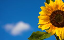 Beautiful sunflower Royalty Free Stock Photos