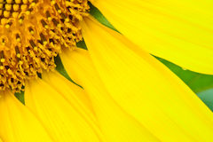 Beautiful  sunflower  abstract background Royalty Free Stock Photo